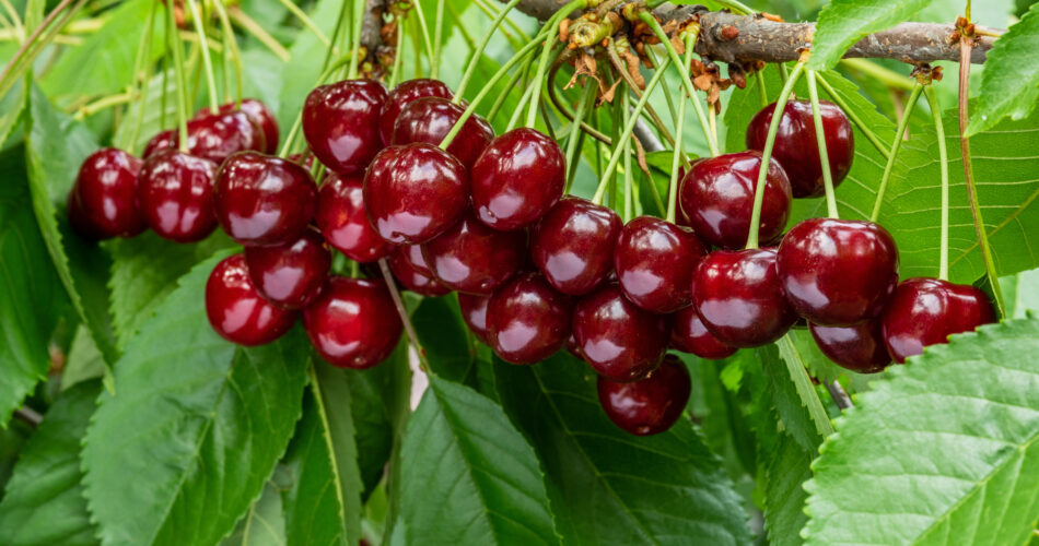 A great harvest of ripe red cherries on a tree branch. Selective focus.