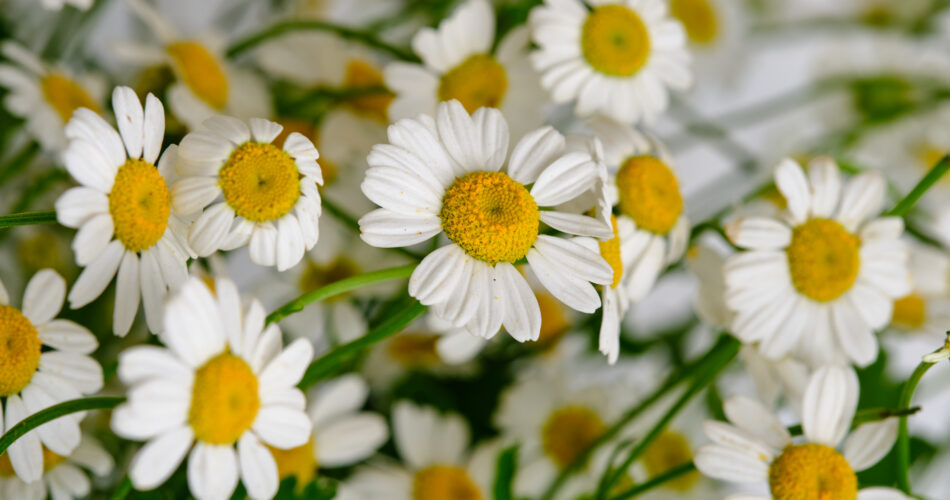 Bouquet with daisies on a white brick wall background close-up