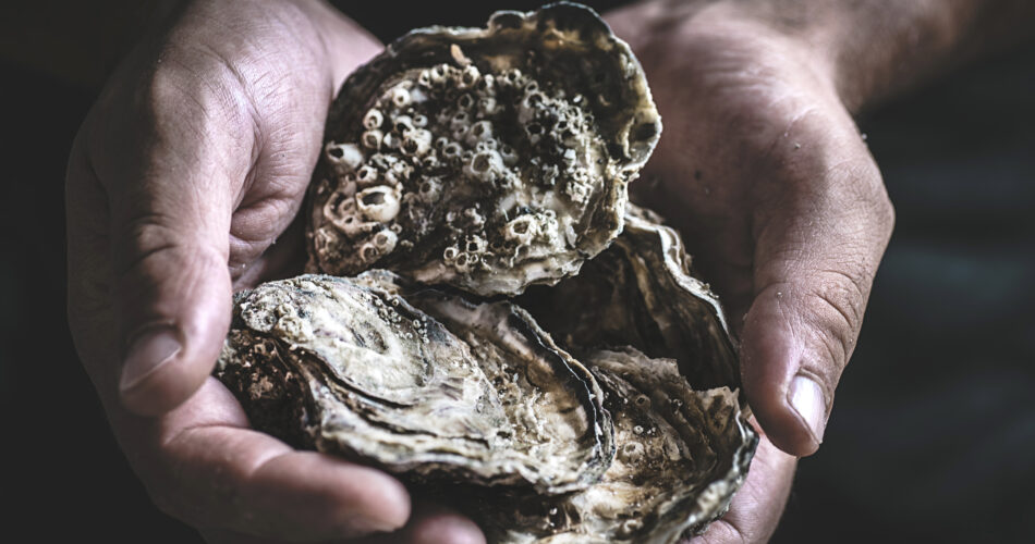Fresh large oysters in male hands on a dark background. Delicious seafood