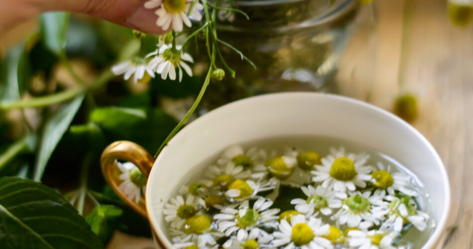 Healthy living and organic lifestyle, woman making fresh Chamomile Tea (Matricaria Recutita) with chamomile flowers and mint leaves closeup of hand picking flowers and vintage gold rim tea cup with hot water