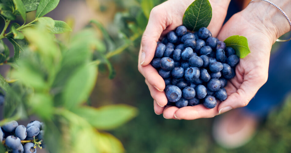 Modern woman working and picking blueberries on a organic farm - woman power business concept.