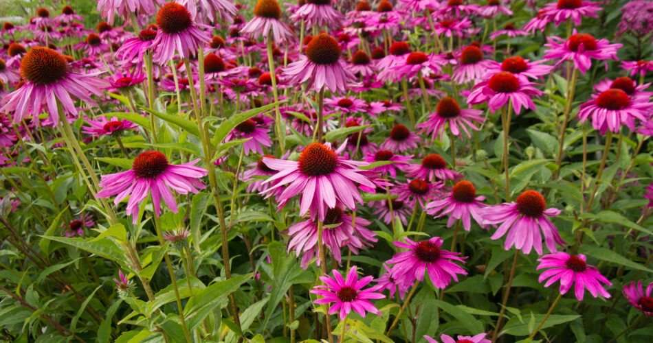 Pink Echinacea flowers  known as coneflowers