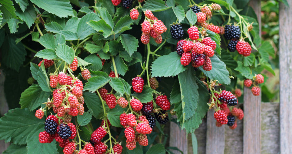 red and black blackberries hanging over a wooden fence