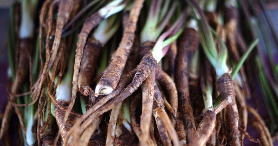 "Fresh chinese dang gui root, angelica sinensis, traditional herbal medicine""n"